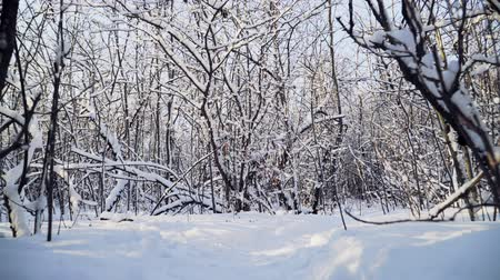 jegesedés : Beautiful snowy forest on bright Sunny winter day. ice on the branches of trees