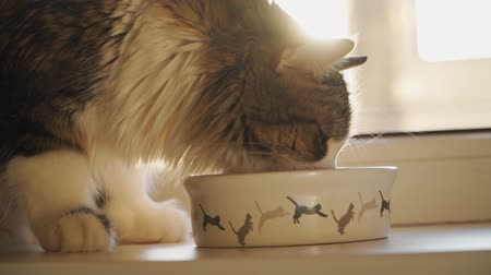 голодный : Beautiful fluffy cat eating from a white bowl with a pattern of Bouncing kittens