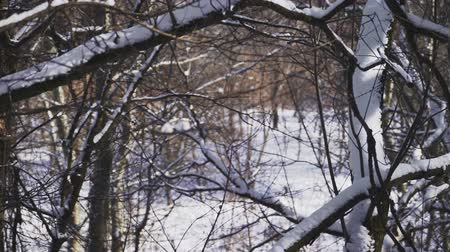 meseország : Close-up. Snow lies on the branches of trees in forest. beautiful winter tale