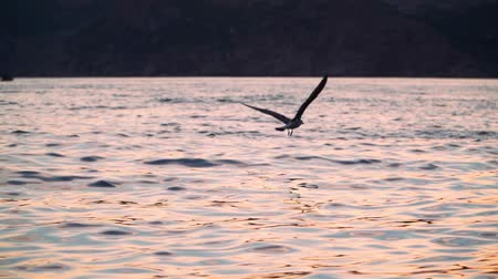 gaivota : Seagull flying over the sea in the sunset light. On the background of mountains and hills. Slow motion