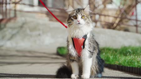 любопытство : Beautiful fluffy cat on a leash sitting outside in Sunny weather. Walking Pets. Slow motion
