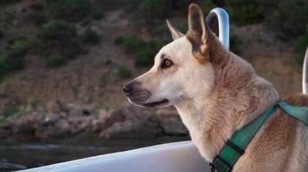kutya : Dog floating on a boat on the sea. travel with Pets. Slow motion