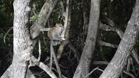 mangue : monkeys are feeding on mangrove trees Vídeos