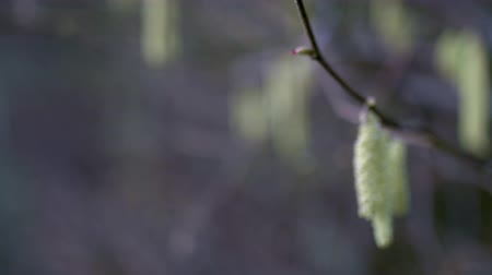 avelã : Hazel Catkins - Focus pull close-up 4k. One of the first trees to bloom in the early spring. This is a focus pull close-up of male hazel catkins. Stock Footage