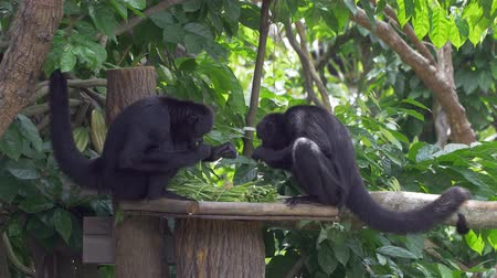 subspecies : Two brownheaded spider monkeys are feeding at Singapore Zoo Ateles fusciceps fusciceps. It is a critically endangered species and a subspecies of the blackheaded spider monkey. Native to northwestern Ecuador South America.   Wide shot filmed in 4k.