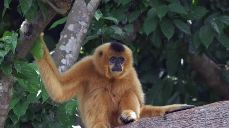 ramo : A female yellowcheeked  buffedcheeked gibbon monkey is sitting in a tree looking out. Filmed in slow motion 96 fps.