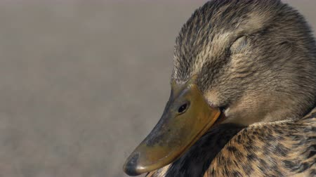 An adorable and cute female mallard is resting in the sun, trying to sleep. Location: Lund, Sweden. Stock Footage