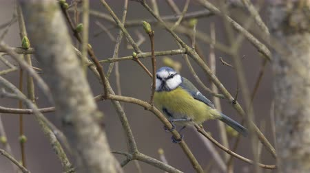 west wing : A cute eurasian blue tit is sitting and jumping around on a small branch. It looks curiously for a while and then flies away. With natural ambient sound. Filmed in March at the beginning of spring.  Location: Lindome outside Gothenburg on the west coast o