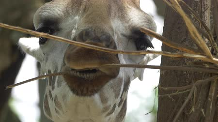жираф : A closeup from the front of a giraffe feeding and chewing on a twig.