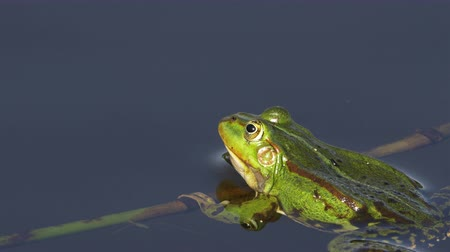 olhos verdes : A green frog, also known as edible frog, common water frog or Pelophylax kl. esculentus is a common European frog that is used for food, especially in France. It is cross between the pool frog and the marsh frog and can often take over ponds and threaten