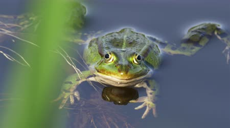 žába : A green frog, also known as edible frog, common water frog or Pelophylax kl. esculentus is a common European frog that is used for food, especially in France. It is cross between the pool frog and the marsh frog and can often take over ponds and threaten