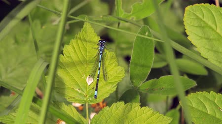 A small, beautiful blue damselfly (related to the dragonfly) is sitting still on a leaf and then flies away. Location: Lund, Sweden in the summer.
