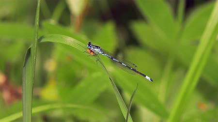A small, beautiful blue damselfly (related to the dragonfly) is sitting still on grass. Location: Lund, Sweden in the summer. Stock Footage