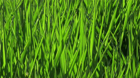 закрывать : A closeup shot of perfectly green grass moving in the wind. The grass fills the entire frame and works well as a background sequence. Filmed in 4k.