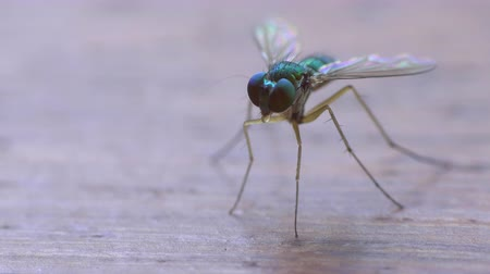 rubs : A macro closeup of a small green fly in the tropics. First it sits still and rubs its legs together cleaning and then flies away.  Stock Footage