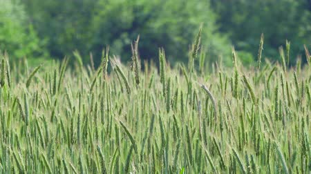Швеция : Rye field slowly moving in the wind in southern Sweden near Lund Ortofta. Summertime June. Medium close-up.