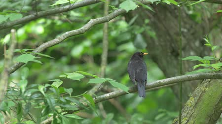 turdus merula : Male common blackbird Turdus merula sitting on branch in the forest. Filmed in 4k. Location: Right outside Lund, southern Sweden in the summer June.