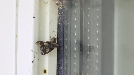 cross spider : Time lapse of a cross spider Araneus diadematus eating a horse-fly that it just caught in its web on a window. Location: Northern Sweden in July.