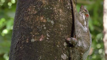 A mother colugo (Sunda flying lemur) is sitting on a tree in the wild in Langkawi, Malaysia with its cute baby looking out, then hiding. With natural sound. Stock Footage