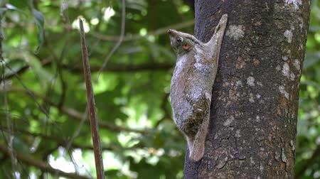 An adult colugo (Sunda flying lemur) is sitting on a tree in the wild in Langkawi, Malaysia, looking around. With natural sound filmed in 4k UHD.