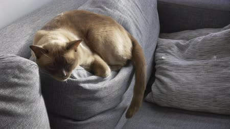 repetição : Cinemagraph of a beautiful pet Burmese cat is sleeping on a couch cushion. Location: Sweden. This is a seamless loop, perfect endless infinity repeat of pet animal. Only the stomach moves.
