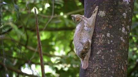 Cinemagraph, a motion background with adult colugo (Sunda flying lemur) sitting on tree in the wild in Langkawi, Malaysia. Wildlife, nature, animal. Seamless loop, perfect, endless, infinity repeat.