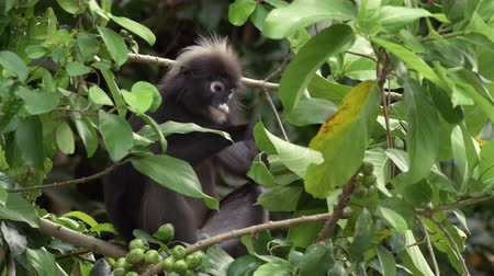 Cute adult dusky leaf monkey  spectactled leaf monkey  langur is sitting among leaves feeding in a tree in the wild. Location: Langkawi, Malaysia. Nature wildlife Asia. Filmed in 4k. Stock Footage