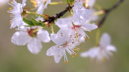 flor de cerejeira : Cherry flowers in spring on tree with raindrops