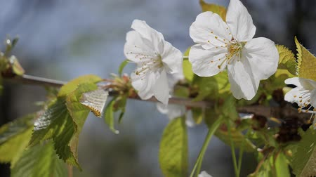 Вишневое дерево : Cherry flowers in spring on tree with raindrops