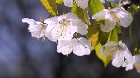 pink flowers : Cherry flowers in spring on tree with raindrops