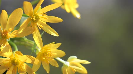 stokrotki : Yellow wildflowers