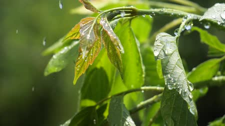 pingos de chuva : Green leaf with raindrops in the summer in nature develops in the wind