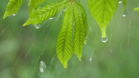 gota de chuva : Green leaf with raindrops in the summer in nature develops in the wind