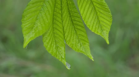 blade : Green leaf with raindrops in the summer in nature develops in the wind