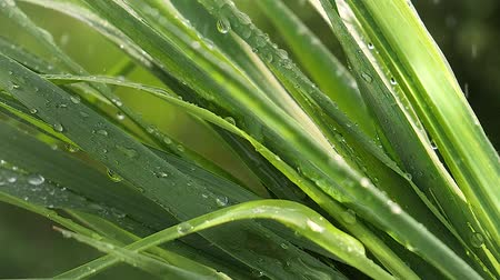 blade : Grass in the rain Stock Footage