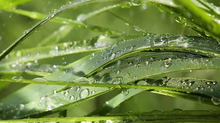 Green grass in nature with raindrops