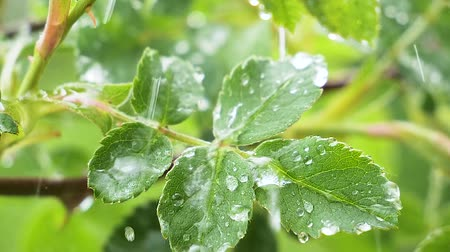 harmat : Green leaf with raindrops in the summer in nature develops in the wind