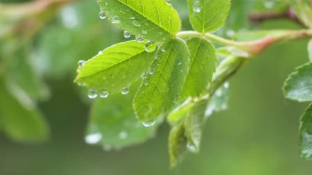 Green leaf with raindrops in the summer in nature develops in the wind