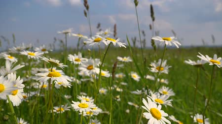 kamilla : Chamomiles in the summer field close-up