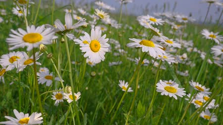 camomila : Chamomiles in the summer field close-up