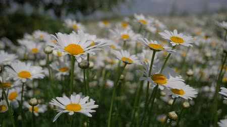 camomile : Chamomiles in the summer field close-up