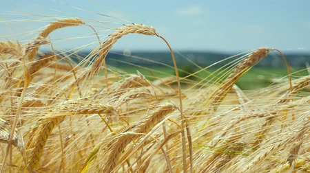 rye bread : Rye spikelets in a field in summer