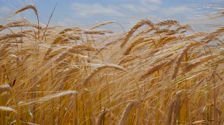 campo grano : Rye spikelets in a field in summer