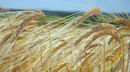 grain bread : Rye spikelets in a field in summer