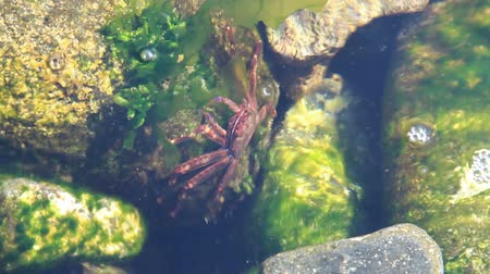 Сицилия : Mediterranean sea crab eating water plant underwater on the stones