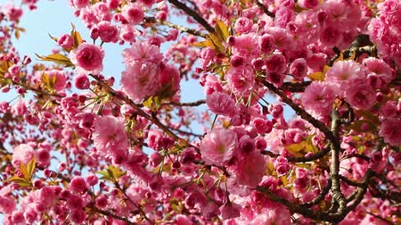 oriental cherry tree : Branches of blooming pink sakura (flowering cherry) swaying on the wind in spring Stock Footage