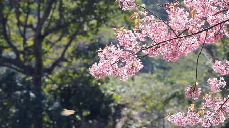 cereja : Pink cherry blossoms