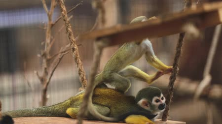 wiewiórka : Common squirrel monkeys (Saimiri sciureus) Wideo