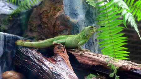 zooloji : Chainese Water Dragon Physignathus Cocincinus