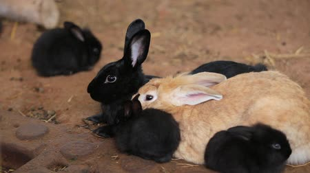 rabbit ears : Closeup eye Animal Bunny or Hare or Black Rabbit on the ground